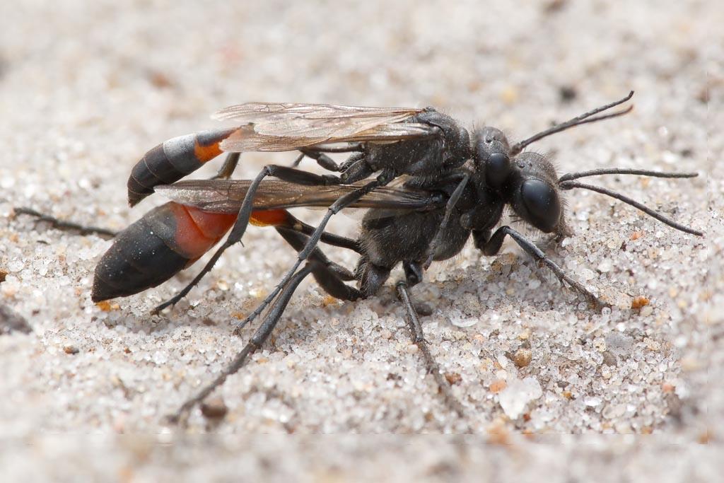 IMAGE: http://www.zen20934.zen.co.uk/GalleryPics/Photos/Arthropods/Ants%20Bees%20Wasps/insect%20sandwasp%20c%20A01_001-05_10-07-19.jpg
