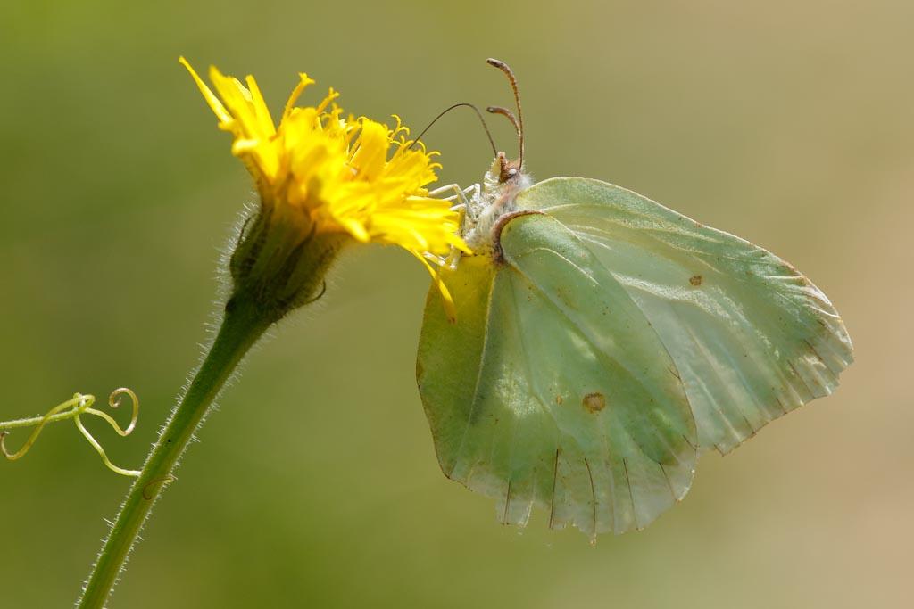 IMAGE: http://www.zen20934.zen.co.uk/GalleryPics/Photos/Arthropods/Butterflies%20Moths/insect%20Brimstone%20A01_001_30-05-20.jpg