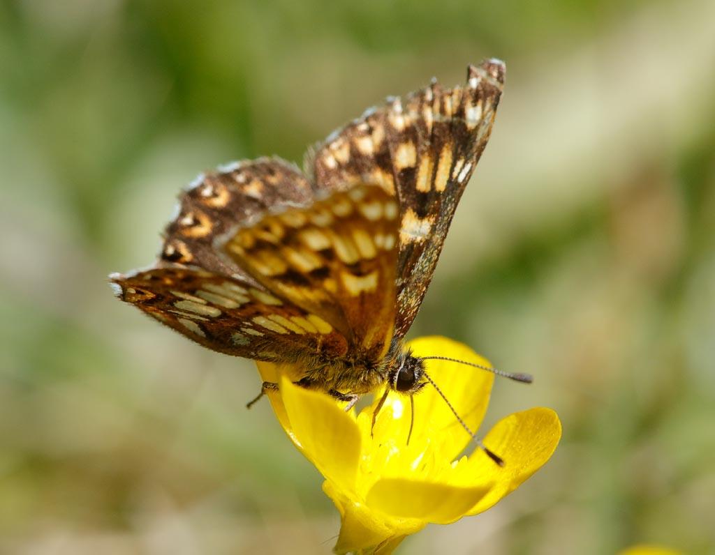 IMAGE: http://www.zen20934.zen.co.uk/GalleryPics/Photos/Arthropods/Butterflies%20Moths/insect%20Duke%20A01_001_25-05-20.jpg