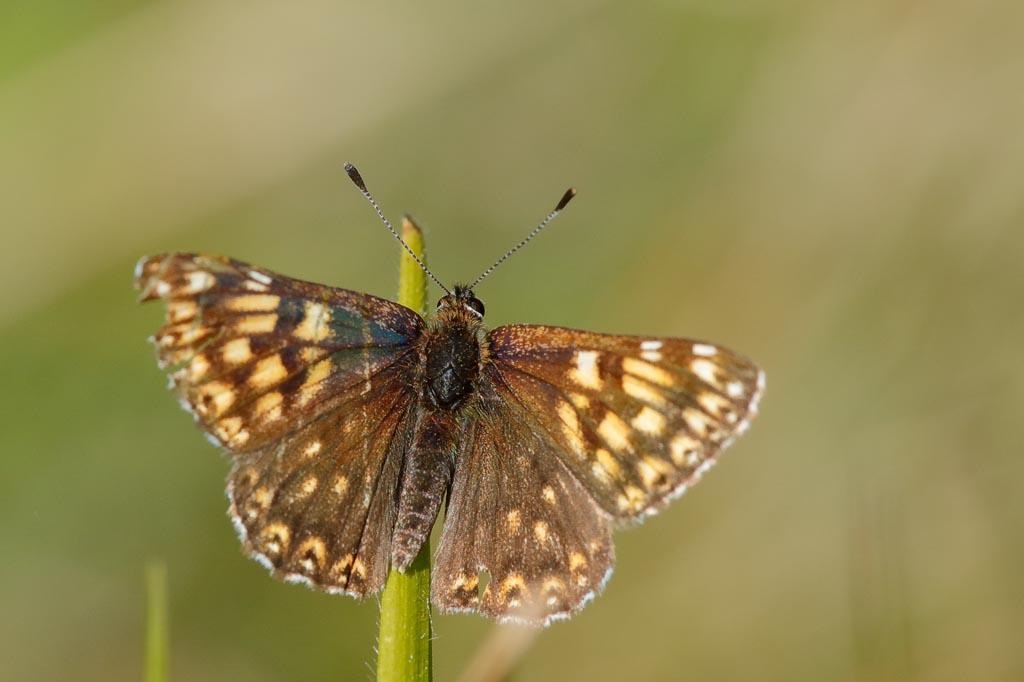 IMAGE: http://www.zen20934.zen.co.uk/GalleryPics/Photos/Arthropods/Butterflies%20Moths/insect%20Duke%20A02_001_25-05-20.jpg