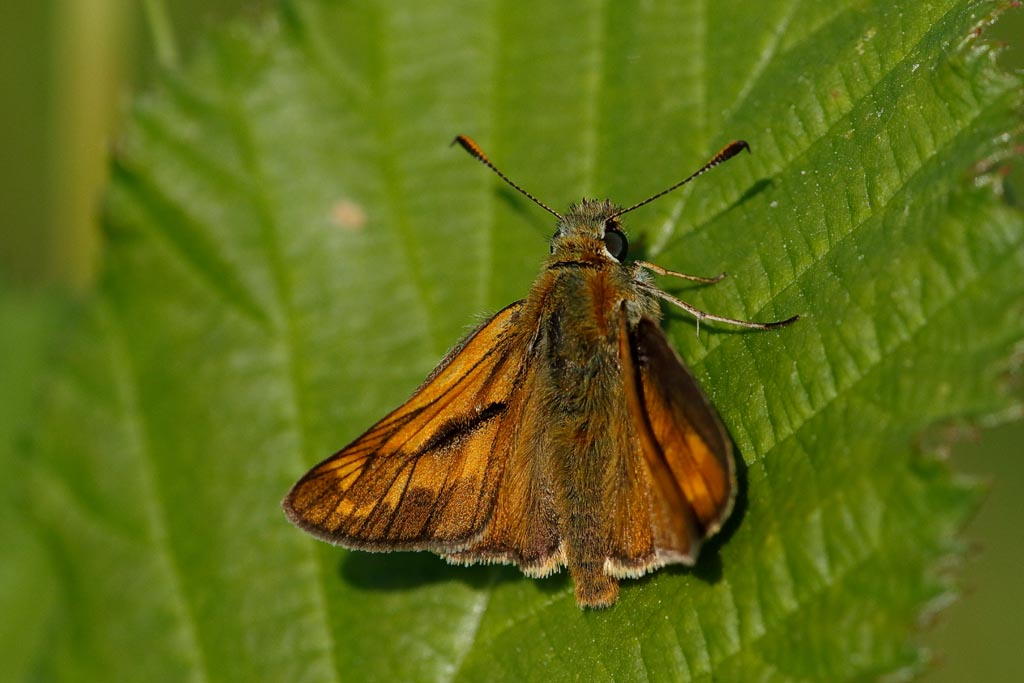 IMAGE: http://www.zen20934.zen.co.uk/GalleryPics/Photos/Arthropods/Butterflies%20Moths/insect%20Large%20Skipper%20m%20A01_001_06-07-19.jpg