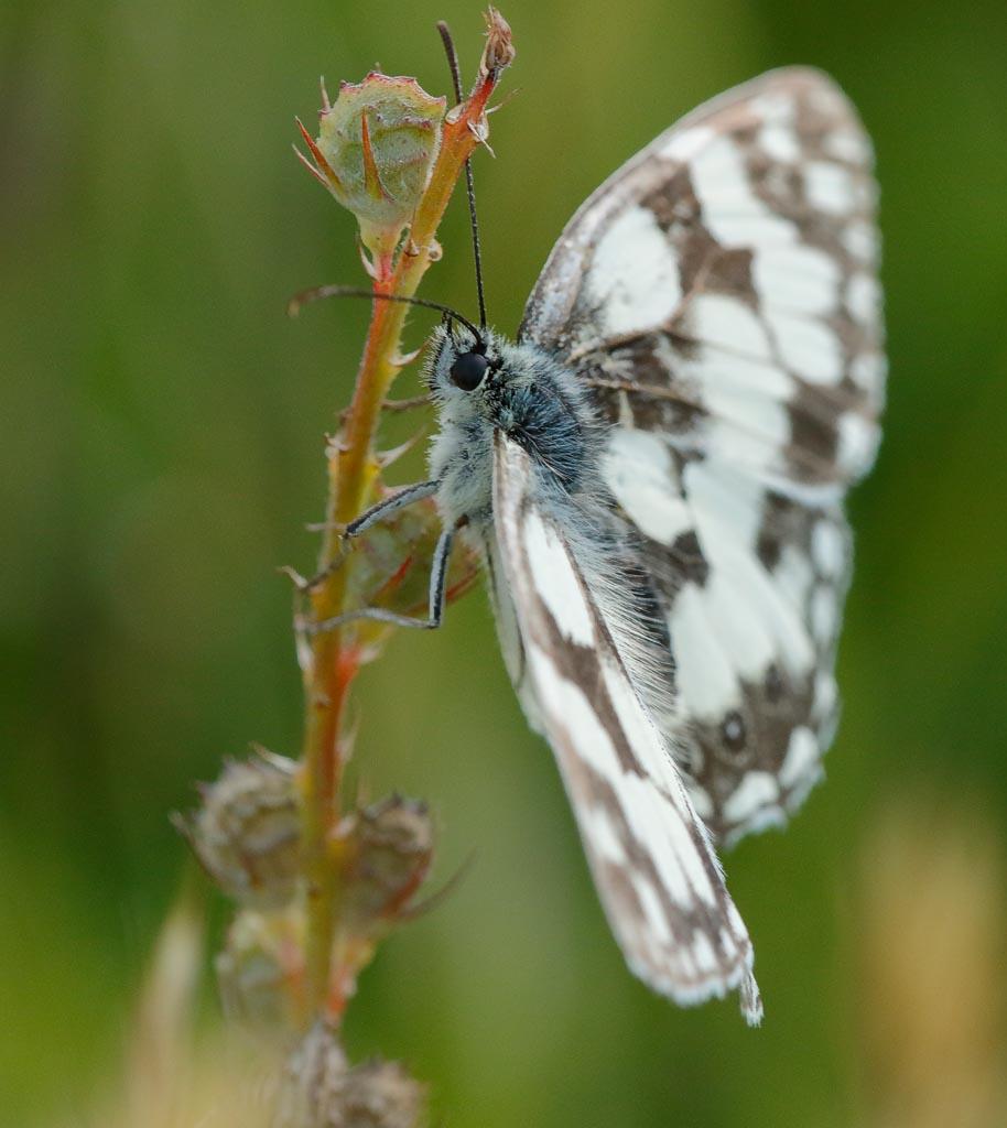 IMAGE: http://www.zen20934.zen.co.uk/GalleryPics/Photos/Arthropods/Butterflies%20Moths/insect%20Marbled%20White%20A02_007_21-07-20.jpg
