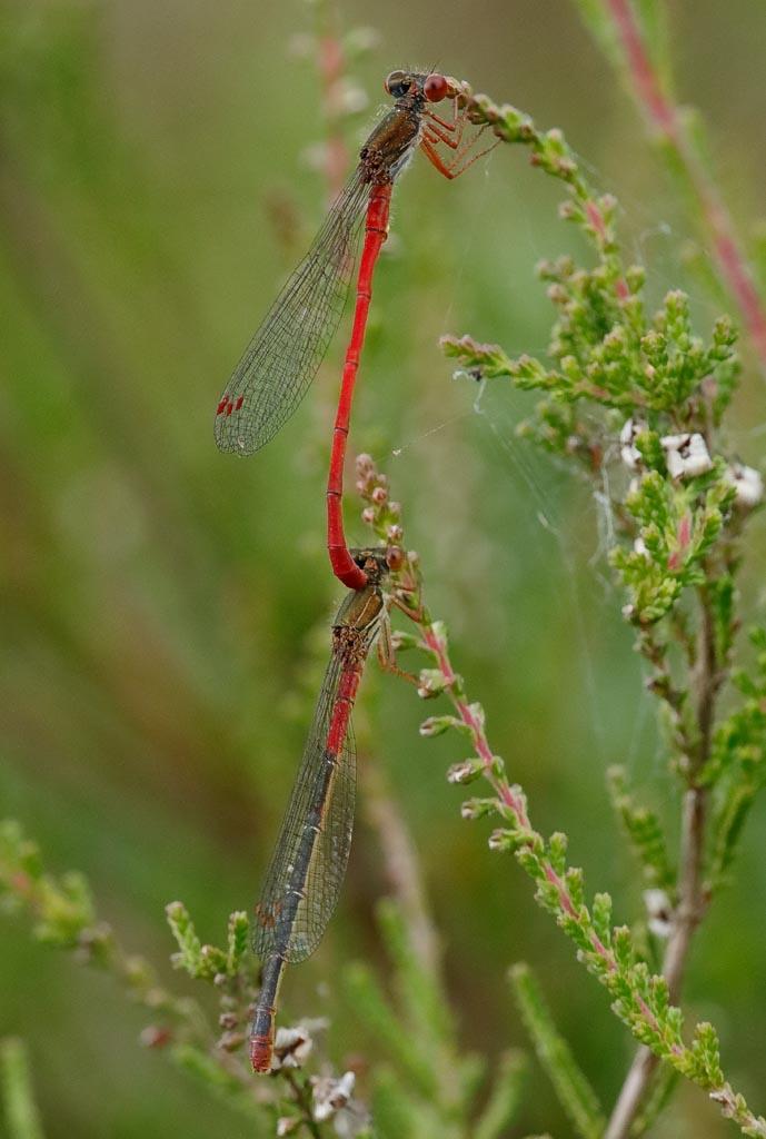 IMAGE: http://www.zen20934.zen.co.uk/GalleryPics/Photos/Arthropods/Damselflies/Insect%20Small%20Red%20A01_001-03_12-07-19.jpg
