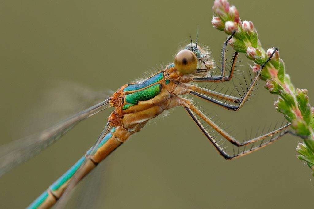 IMAGE: http://www.zen20934.zen.co.uk/GalleryPics/Photos/Arthropods/Damselflies/insect%20Emerald%20Dams%20A04_001-03_10-07-19.jpg