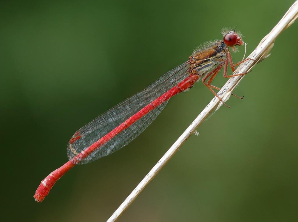 IMAGE: http://www.zen20934.zen.co.uk/GalleryPics/Photos/Arthropods/Damselflies/insect%20small%20red%20damsl%20A02_001-03_10-07-19.jpg