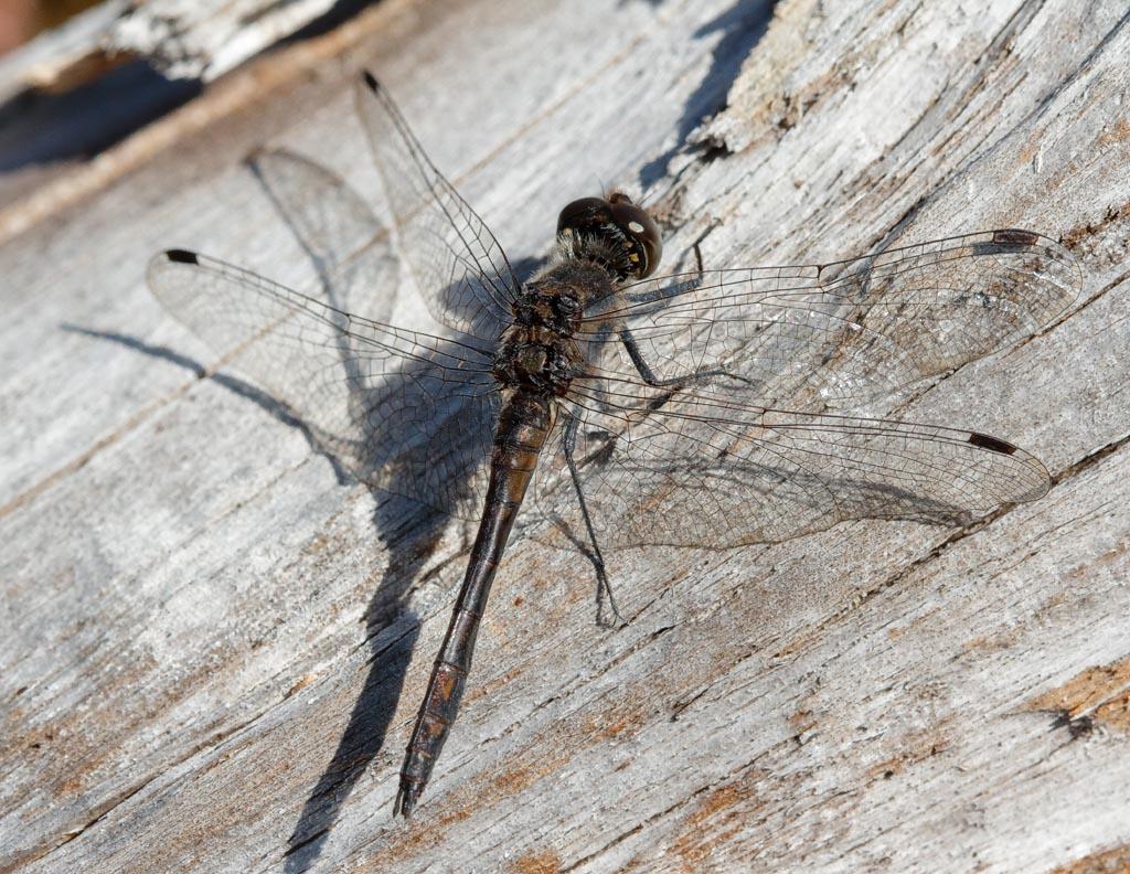 IMAGE: http://www.zen20934.zen.co.uk/GalleryPics/Photos/Arthropods/Dragonflies/insect%20Dragon%20A004_001_17-09-19.jpg