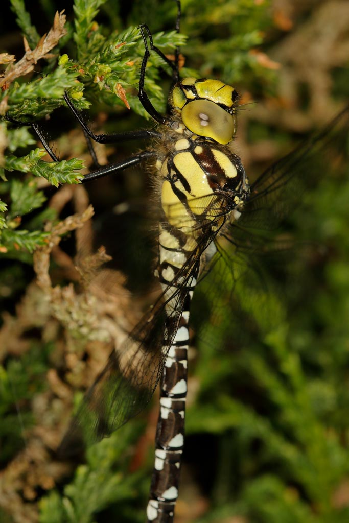 insect Hawker B05_001_25-07-20.jpg