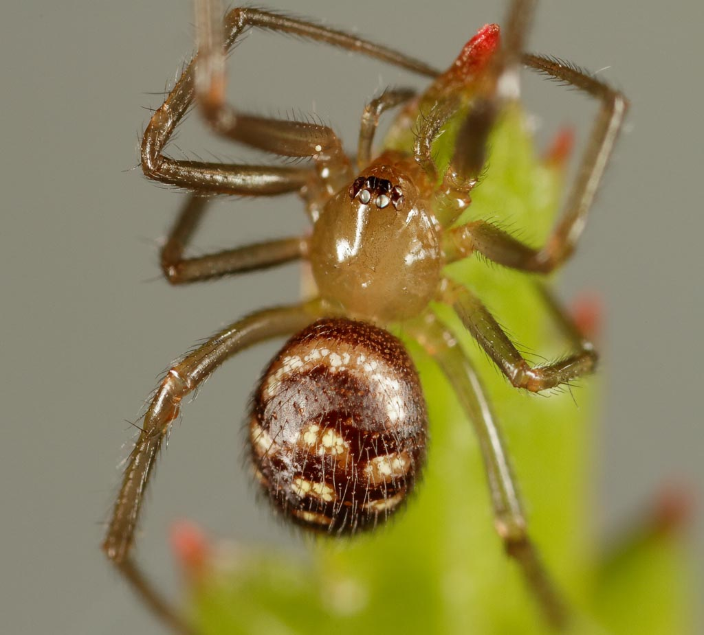IMAGE: http://www.zen20934.zen.co.uk/GalleryPics/Photos/Arthropods/Spiders%20and%20Mites/insect%20Spider%20A11_001_26-05-19.jpg