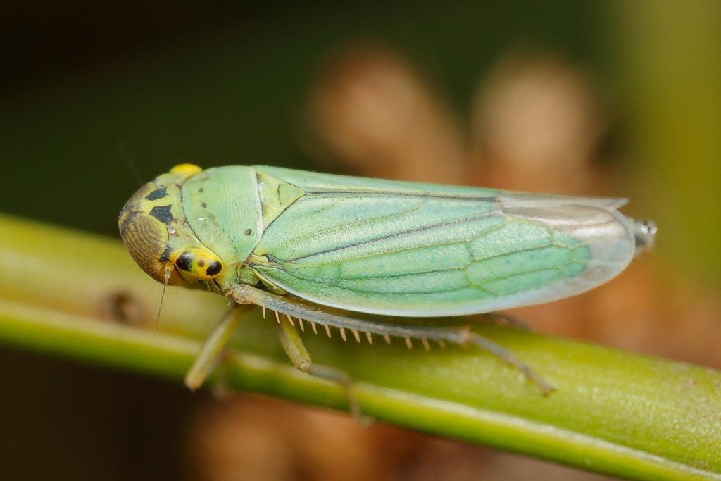 IMAGE: http://www.zen20934.zen.co.uk/GalleryPics/Photos/Arthropods/True%20Bugs/insect%20Plant%20Hopper%20B04_002_24-07-20.jpg
