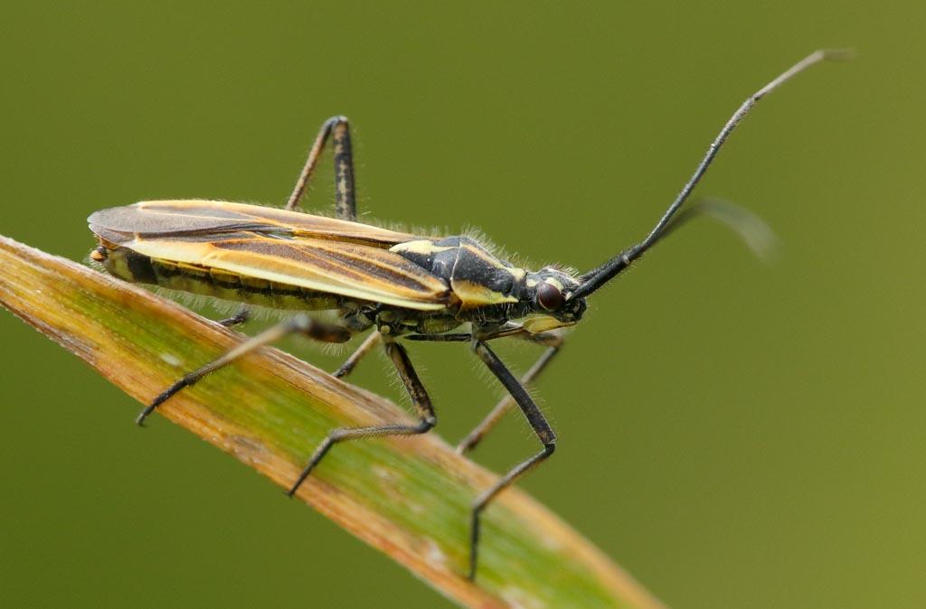 IMAGE: http://www.zen20934.zen.co.uk/GalleryPics/Photos/Arthropods/True%20Bugs/insect%20Yellow%20Bug%20A02_002-04_15-06-20.jpg