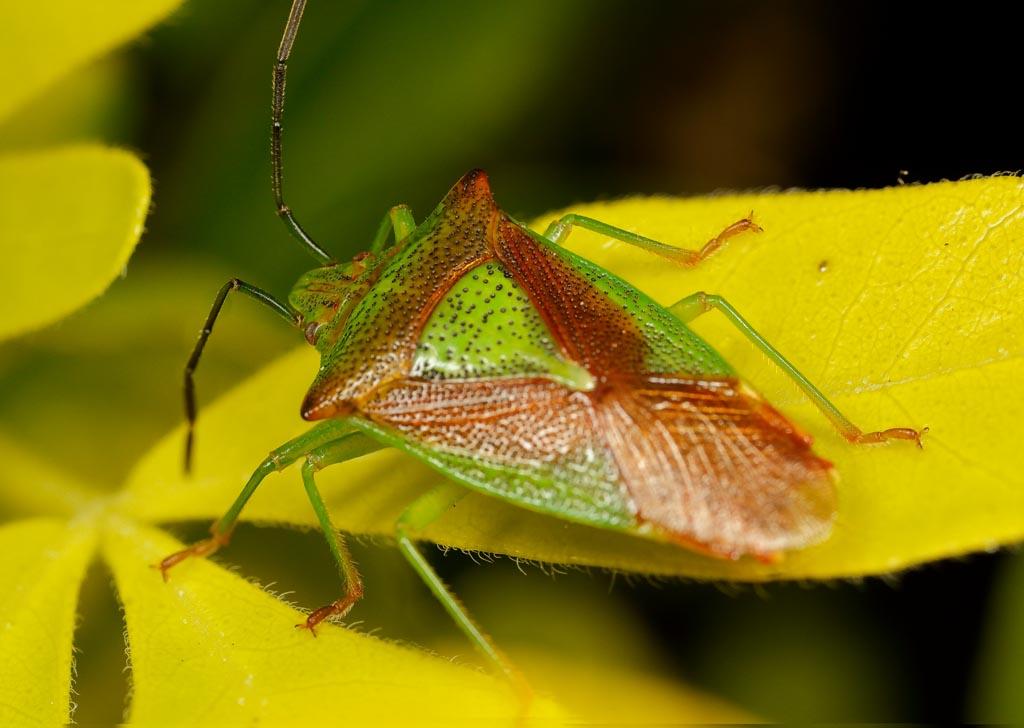 IMAGE: http://www.zen20934.zen.co.uk/GalleryPics/Photos/Arthropods/True%20Bugs/insect%20shdbug%20A01_001-04_26-05-19.jpg