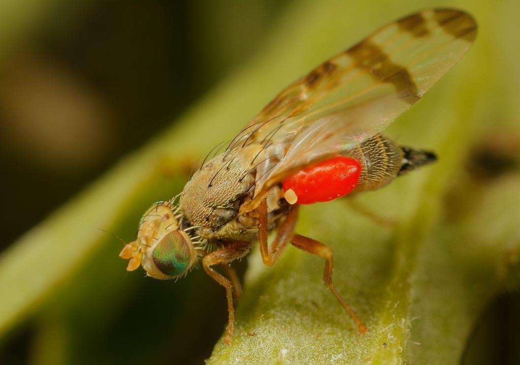 IMAGE: http://www.zen20934.zen.co.uk/GalleryPics/Photos/Arthropods/True%20Flies/insect%20Fly%20A02_006%2007%2009_24-07-20.jpg