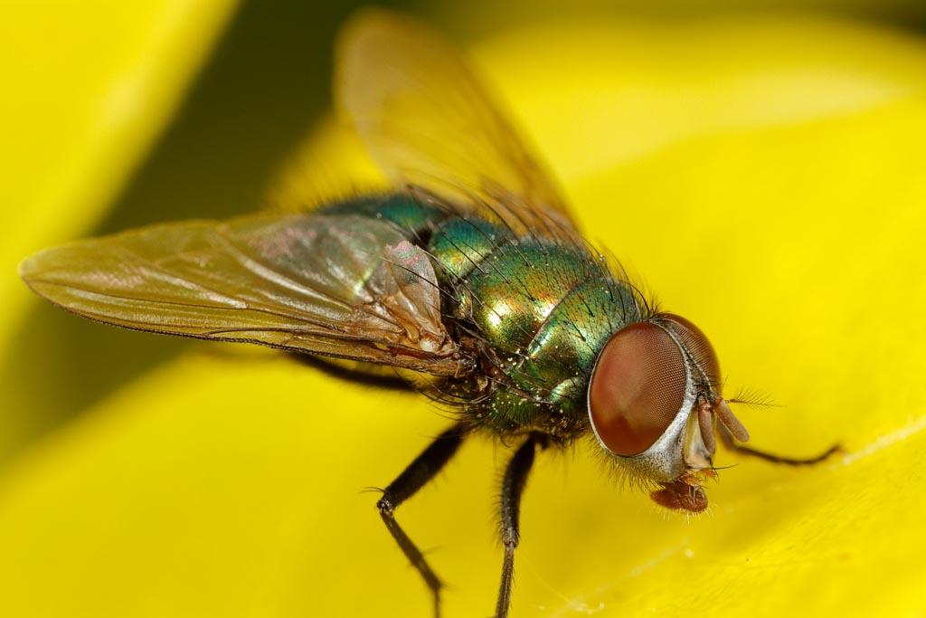 IMAGE: http://www.zen20934.zen.co.uk/GalleryPics/Photos/Arthropods/True%20Flies/insect%20Fly%20B02_001-03_26-05-19.jpg