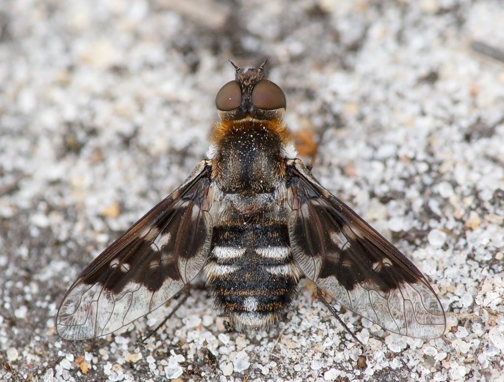 IMAGE: http://www.zen20934.zen.co.uk/GalleryPics/Photos/Arthropods/True%20Flies/insect%20heath%20bee%20fly%20A01_001-06_10-07-19.jpg