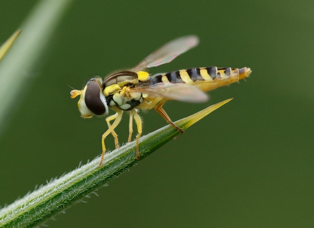 IMAGE: http://www.zen20934.zen.co.uk/GalleryPics/Photos/Arthropods/True%20Flies/insect%20hoverfly%20A04_001-06_10-07-19.jpg