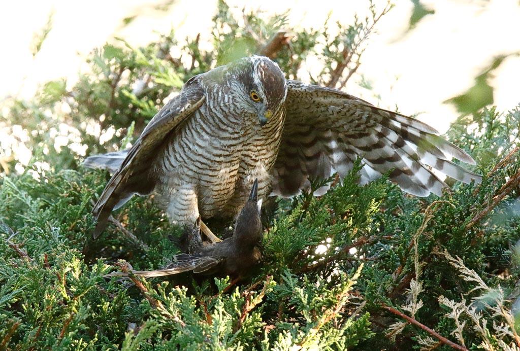IMAGE: http://www.zen20934.zen.co.uk/GalleryPics/Photos/Birds/Birds%20of%20Prey/birds%20Sparrowhawk%20B01_006_04-08-20.jpg