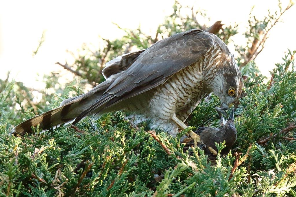 IMAGE: http://www.zen20934.zen.co.uk/GalleryPics/Photos/Birds/Birds%20of%20Prey/birds%20Sparrowhawk%20B01_013_04-08-20.jpg