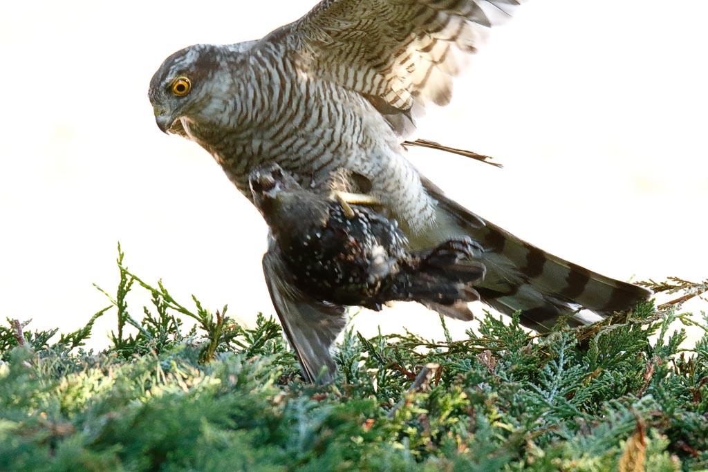 IMAGE: http://www.zen20934.zen.co.uk/GalleryPics/Photos/Birds/Birds%20of%20Prey/birds%20Sparrowhawk%20B01_029_04-08-20.jpg