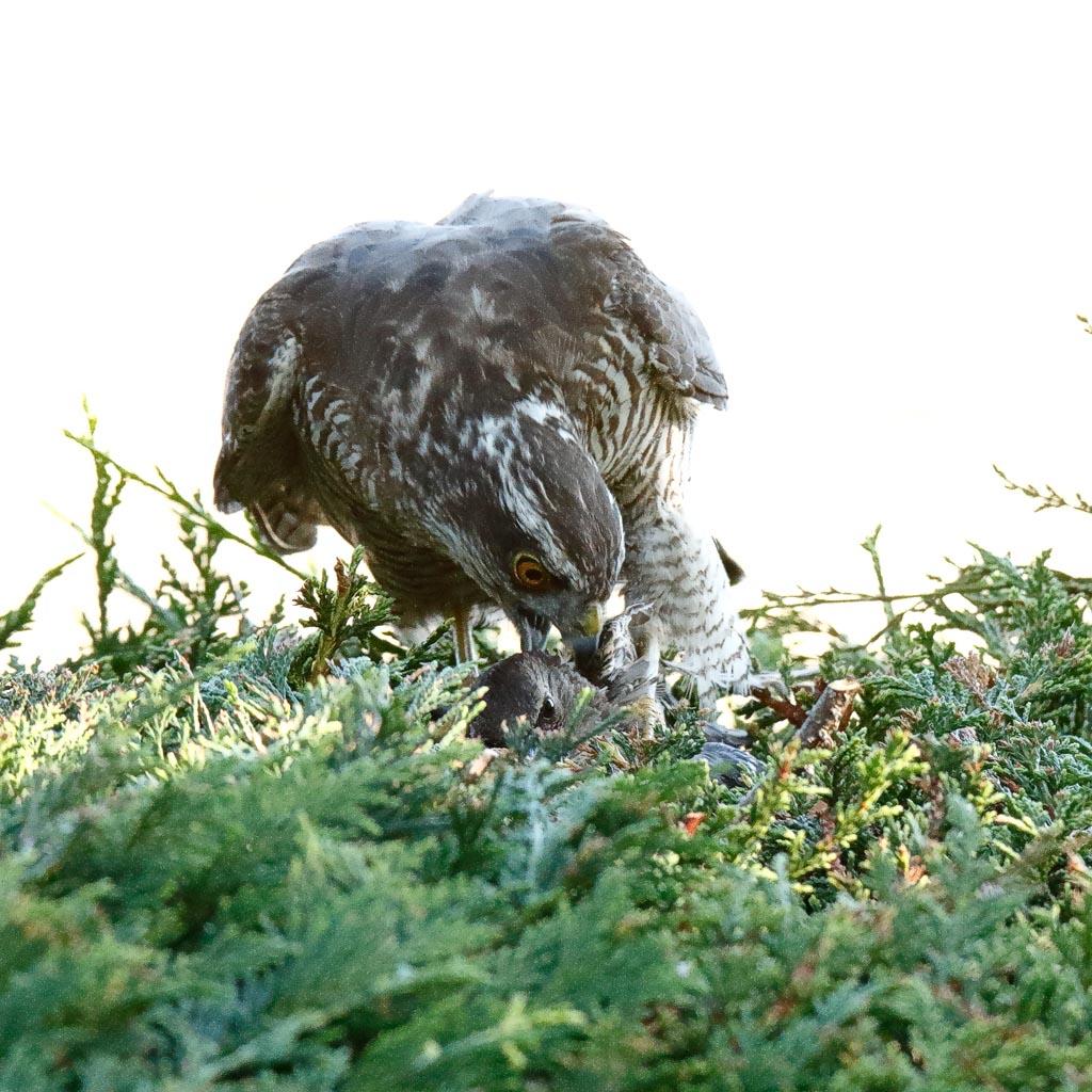 IMAGE: http://www.zen20934.zen.co.uk/GalleryPics/Photos/Birds/Birds%20of%20Prey/birds%20Sparrowhawk%20B01_037_04-08-20.jpg