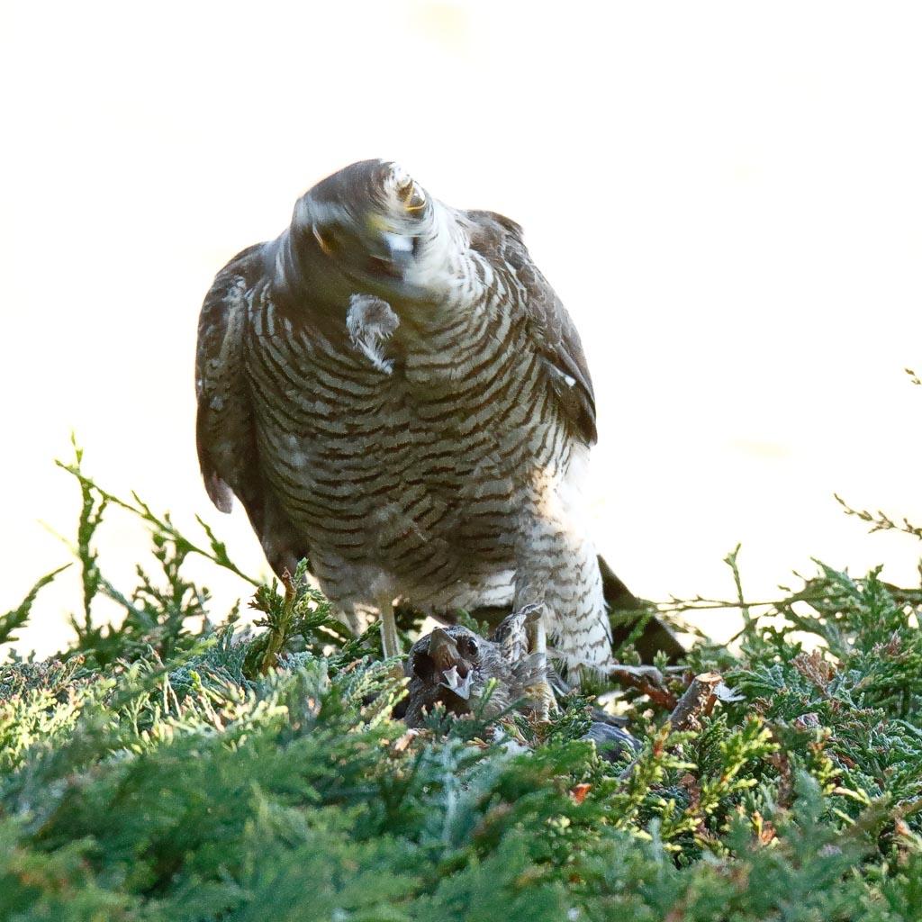 IMAGE: http://www.zen20934.zen.co.uk/GalleryPics/Photos/Birds/Birds%20of%20Prey/birds%20Sparrowhawk%20B01_040_04-08-20.jpg