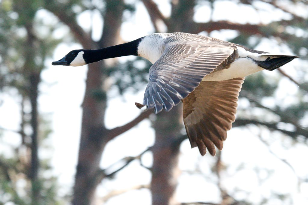 IMAGE: http://www.zen20934.zen.co.uk/GalleryPics/Photos/Birds/Freshwater%20Birds/birds%20Canada%20Goose%20A01_002_30-03-19.jpg