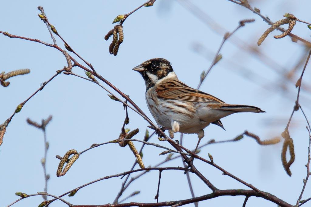 IMAGE: http://www.zen20934.zen.co.uk/GalleryPics/Photos/Birds/General/Buntings/birds%20Reed%20Bunting%20mw%20A01_001_30-03-19.jpg