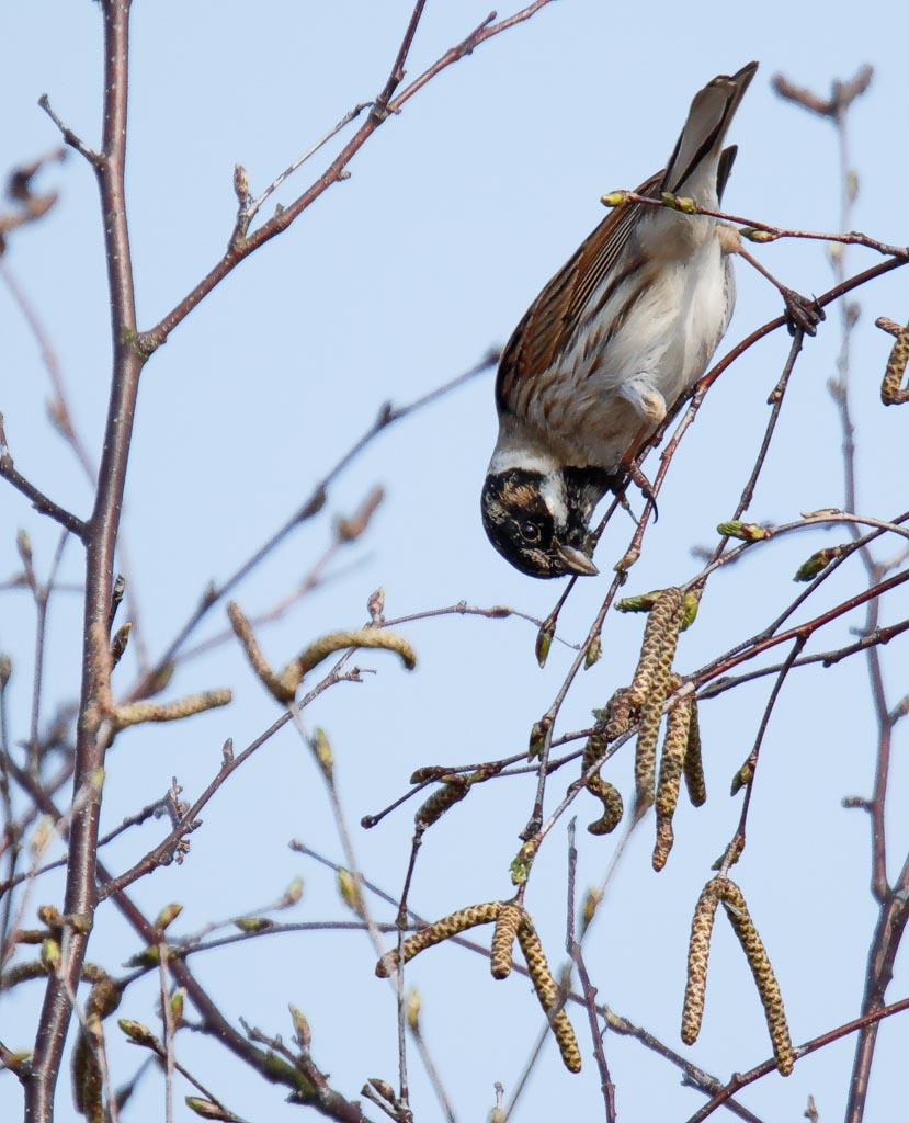 IMAGE: http://www.zen20934.zen.co.uk/GalleryPics/Photos/Birds/General/Buntings/birds%20Reed%20Bunting%20mw%20A01_009_30-03-19.jpg