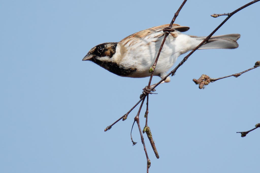 IMAGE: http://www.zen20934.zen.co.uk/GalleryPics/Photos/Birds/General/Buntings/birds%20Reed%20Bunting%20mw%20A02_004_30-03-19.jpg
