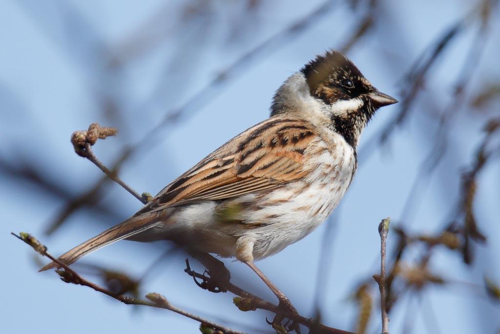 IMAGE: http://www.zen20934.zen.co.uk/GalleryPics/Photos/Birds/General/Buntings/birds%20Reed%20Bunting%20mw%20A03_002_30-03-19.jpg