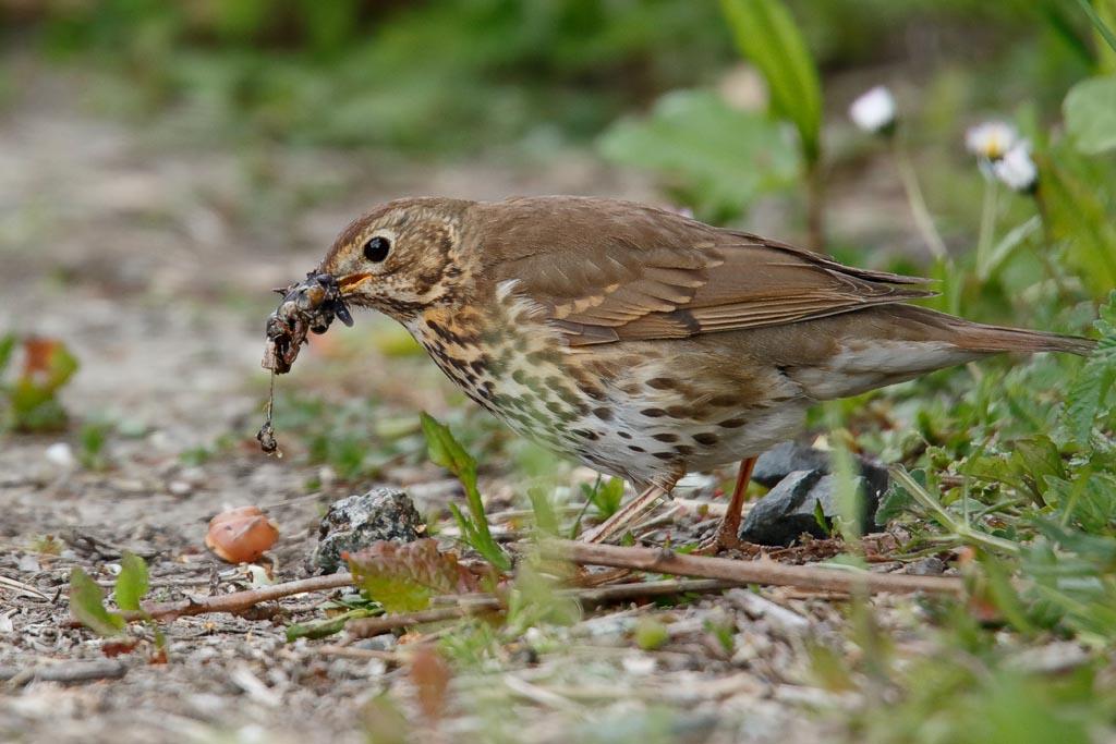IMAGE: http://www.zen20934.zen.co.uk/GalleryPics/Photos/Birds/General/Chats%20and%20Thrushes/birds%20Song%20Thrush%20%2B%20Snail%20A01_008_06-05-19.jpg
