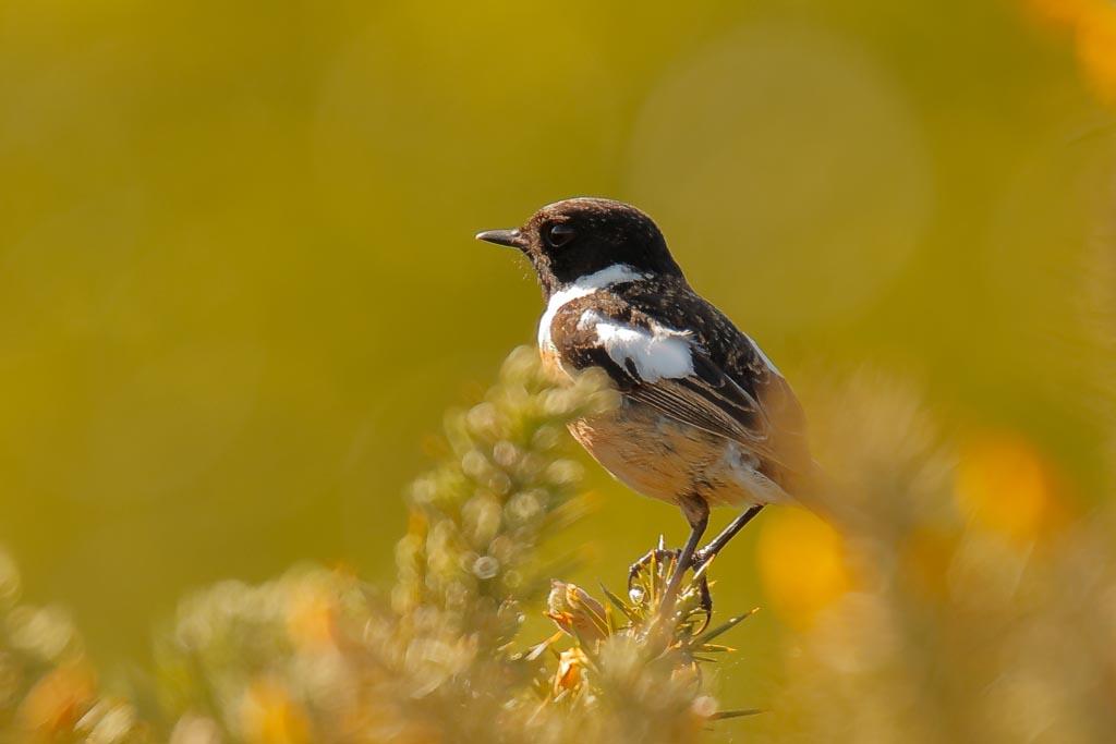 IMAGE: http://www.zen20934.zen.co.uk/GalleryPics/Photos/Birds/General/Chats%20and%20Thrushes/birds%20stonechat%20m%20B01_001_13-05-19.jpg