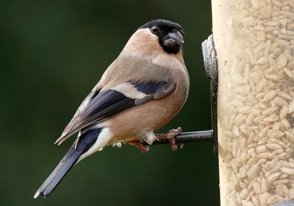 IMAGE: http://www.zen20934.zen.co.uk/GalleryPics/Photos/Birds/General/Finches/birds%20Bullfinch%20f%20A01_002_23-03-19.jpg