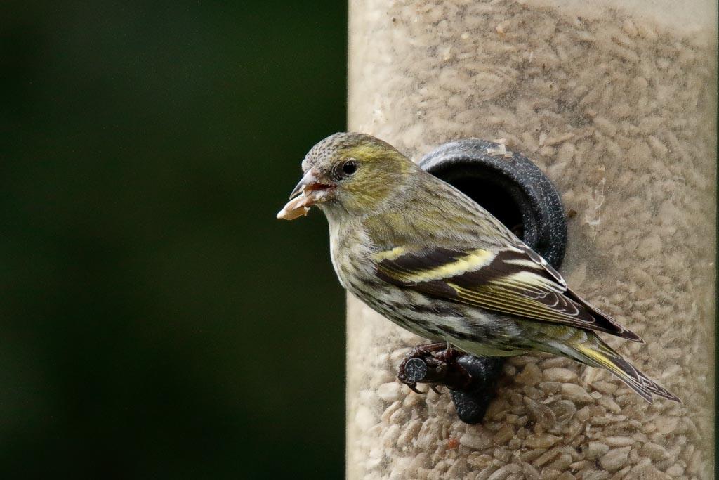 IMAGE: http://www.zen20934.zen.co.uk/GalleryPics/Photos/Birds/General/Finches/birds%20Siskin%20f%20A01_001_09-03-19.jpg