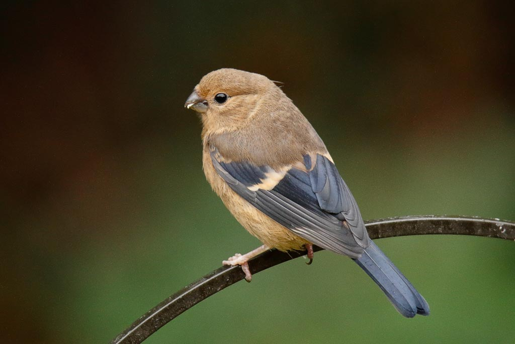 IMAGE: http://www.zen20934.zen.co.uk/GalleryPics/Photos/Birds/General/Finches/birds%20bullfinch%20j%20A03_002_16-08-19.jpg