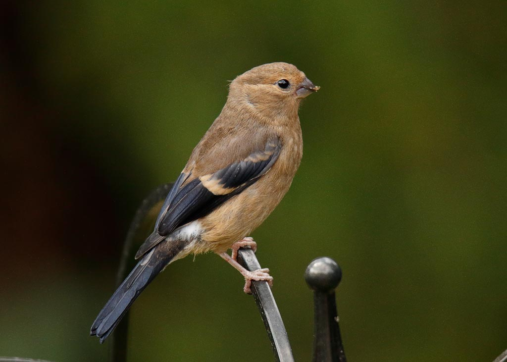 IMAGE: http://www.zen20934.zen.co.uk/GalleryPics/Photos/Birds/General/Finches/birds%20bullfinch%20j%20A05_001_17-08-19.jpg