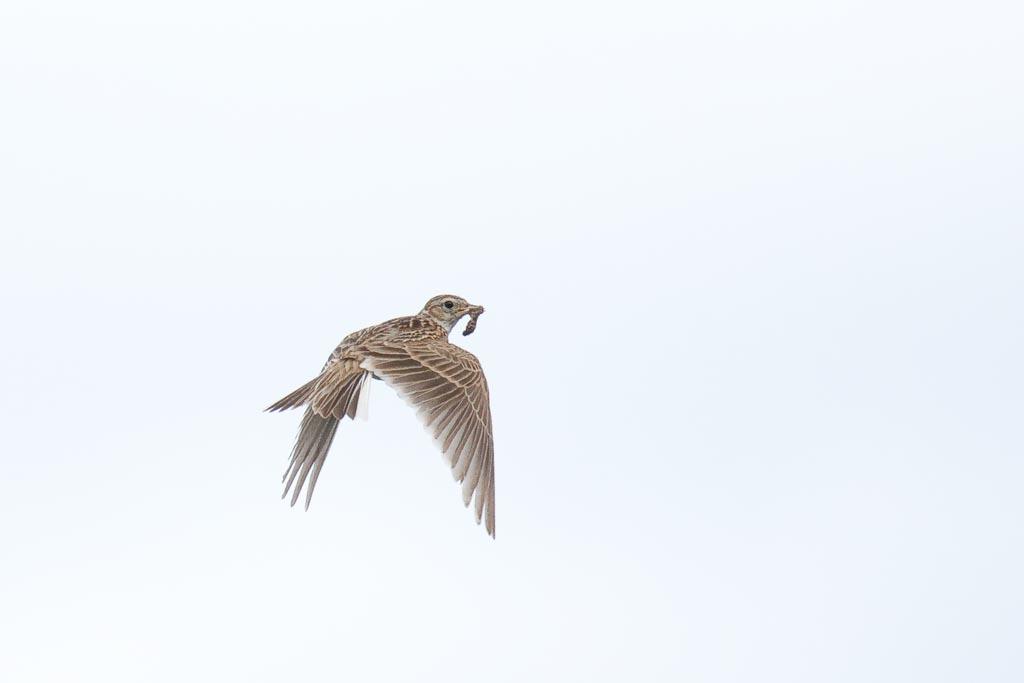 IMAGE: http://www.zen20934.zen.co.uk/GalleryPics/Photos/Birds/General/Larks/birds%20Skylark%20A01_003_06-07-20.jpg
