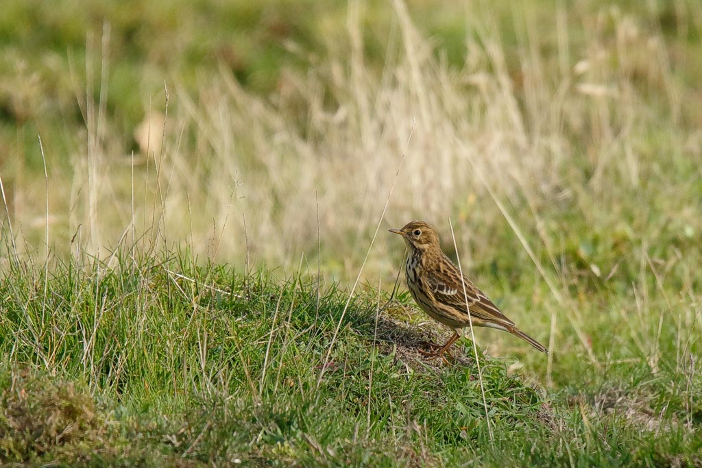 bird Meadow Pipit A01_002_19-10-20.jpg