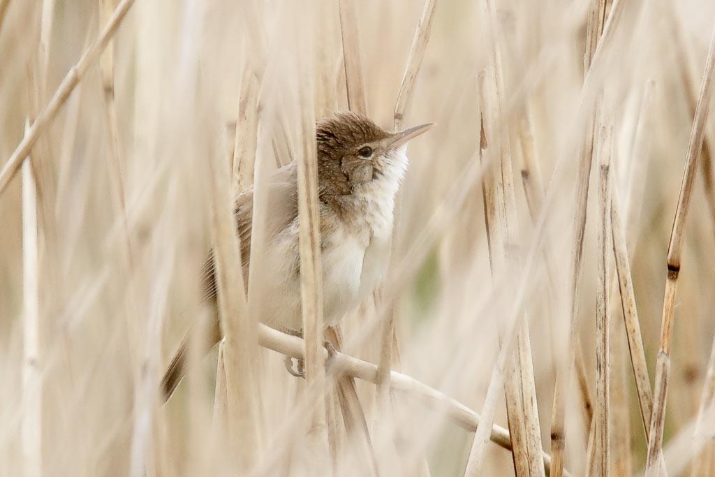 IMAGE: http://www.zen20934.zen.co.uk/GalleryPics/Photos/Birds/General/Warblers%20and%20Allies/birds%20Reed%20Warbler%20A01_002_06-05-19.jpg
