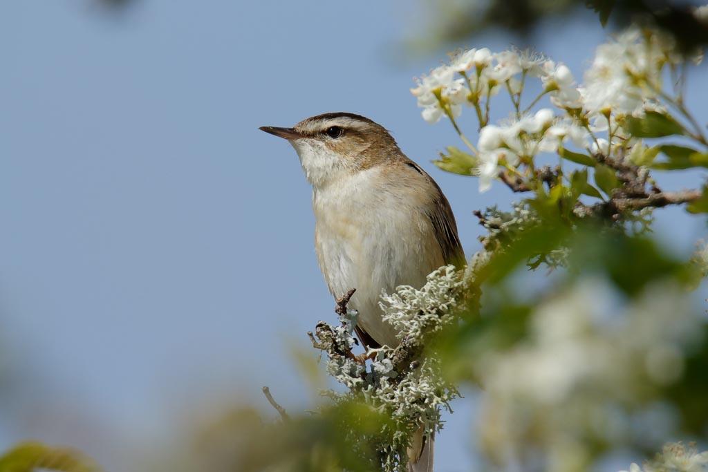 IMAGE: http://www.zen20934.zen.co.uk/GalleryPics/Photos/Birds/General/Warblers%20and%20Allies/birds%20Sedge%20Warbler%20A02_007_06-05-19.jpg