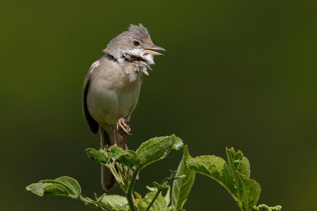 IMAGE: http://www.zen20934.zen.co.uk/GalleryPics/Photos/Birds/General/Warblers%20and%20Allies/birds%20Whitethroat%20A01_003_06-05-19.jpg