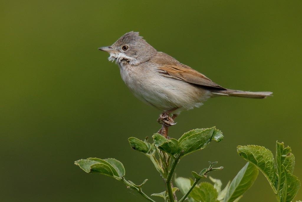 IMAGE: http://www.zen20934.zen.co.uk/GalleryPics/Photos/Birds/General/Warblers%20and%20Allies/birds%20Whitethroat%20A01_006_06-05-19.jpg